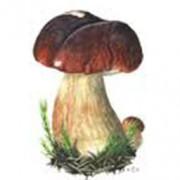 (c) Pilzforum.at
